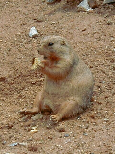 http://www.fritchman.com/images/lazy-five-ranch/groundhog-a.jpg